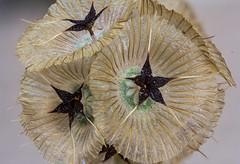 Lomelosia simplex (Fernando Delgado) Tags: plantas planta flor fruto flower fruit lomelosiasimplex dipsacaceae macro nature portugal junho erva anual iberianpeninsula flora ibrica