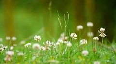 Clover close-up on the low-down lawn (SteveJM2009) Tags: uk grass june focus dof bokeh pov lawn dorset clover lowdown stevemaskell kingstonlacy 2016 explored naturethroughthelens