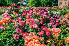 rose garden 1 (gdajewski) Tags: flowers roses rose garden rosegarden nikkor35mmf18gdx nikond7000 schenectadyrosegarden