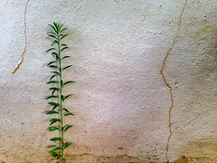 Cracked (tisatruett) Tags: old shadow plant color green texture wall concrete grow crack growing olor
