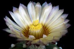 Astrophytum asterias cv ruri kabuto (Fabio Francesco Nocito) Tags: cactus flower cv kabuto ruri astrophytum asterias