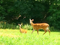 Oh deer! #amishcountry (tabithan11) Tags: amishcountry