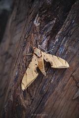 Mariposa (Diego Serra) Tags: textura mariposa tronco insecto