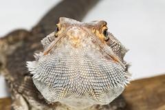 Barba de escamas... (Pablin79) Tags: light macro argentina colors closeup eyes reptile indoor beardeddragon lightbox misiones posadas pogonavitticeps dragonbarbudo