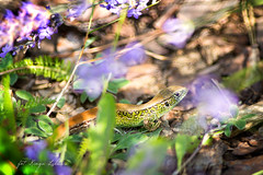 (kinga.lubawa) Tags: colors canon sommer sensual lizard kwiaty kwiat kolory lato kolorowe soneczny jaszczurka sonecznie canon6d