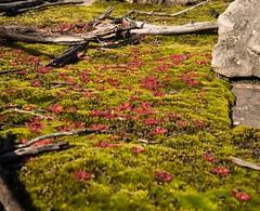 mossy carpet (damdiv) Tags: carnivorous sundew moss red green grampians