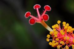 Hibiscus D (Franco Gavioli) Tags: 2016 fragavio francesco gavioli canoneos600d canonef100mmf28macrousm yongnuoyn568exiiettl augusta sicilia sicily fiore flower ibisco hibiscus macro