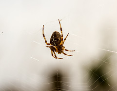 spider in the sky (PDKImages) Tags: spider spiders webs macro beauty silhouettes legs creepy danger feeding striped pounce nature