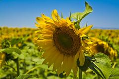sunflower (murattuzgel) Tags: nikon d5200 turkey trkiye dslr nature