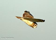 velduil-3.jpg (yhoebeke) Tags: shortearedowl velduil strigidae asioflammeus