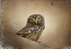 IMG_0465 lovely little owl (pinktigger) Tags: owl bird oasideiquadris fagagna feagne friuli italy italia nature athenenoctua