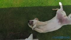 Jag alskar det har benet! (J Tube-Films) Tags: scooby st gullig retriever valp valpar hund hundvalp leker busar ben gott dog puppy