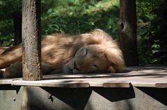 Lion Snoozes Today (Shawn Phelps) Tags: cincinnati zoo lion sleep snooze ohio oh dayime 2008