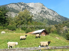 20150927_092113 (coldgazemedia) Tags: photobank stockphoto scenery schweiz switzerland swissvillage swissalps landscape naters brig birgish mund alps mountain swisshuts alpine alpinehut bluesky blue green grass grassland animal sheep pasture grazing blackhead blacknose