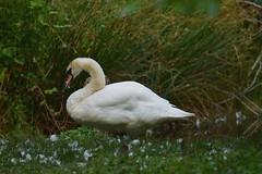 Mute Swan - Cygnus olor (jessica.rohrbacher) Tags: anatidae mute swan bird avian cygnus olor animal vancouver britishcolumbia canada