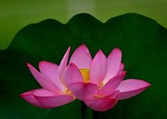 Lotus Flower (Giovanni88Ant) Tags: lotus red  osaka summer flower
