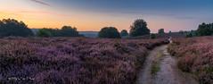 Netherlands - The heather is blooming purple (Toon E) Tags: 2016 holland netherlands nederland arnhem veluwezoom nationalpark heather heide summer outdoor sony a7rii sonyfe2470mmf4 pink purple morning sunrise