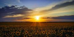 Sunflower Sunset (dekish1) Tags: 2v3a4151jpg denvercolorado sunflowers sunset sunflowerfield canon7dmarkii canon1022mm frontrange copyrightdavidkish2016 sunrays