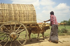 thakurgaon103 (Vonkenna) Tags: bangladesh thakurgaon seismicexploration cow cart purdah