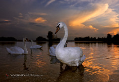 Mirror In My Eyes (VargovicPhoto.com) Tags: swansunset swan croatia podravina šoderica
