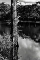 Cypress and Reflections (Scott Sanford) Tags: 6d allisonfaithguideservice canon eos naturallight nature outdoor sunlight texas water trees reflections blackandwhite bw monochrome contrast detail clouds sky naturalbeauty topazlabs ef2470mmf28lusm
