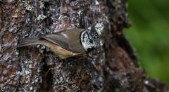 Crested tit (ReevesWild) Tags: bird birdphotography tit crestedtit crested britishwildlife britishbirds scotland abernethy forest abernethyforest nature naturephotography wildlife wildlifephotography