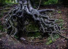 Gyökerek (Delfinibi) Tags: hungary ungarn outdoor zuiko mzuiko magyarország erdő epl5 forest fa tree wood olympusepl5 olympus olympusm1442mmf3556iir kéktúra okt gyökér pilis dobogókő root 100v10f
