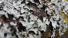 cortex (FranktIstAuchNurEinName) Tags: rinde cortex treetrunk trunk tree wood bark crust peeling rind nature