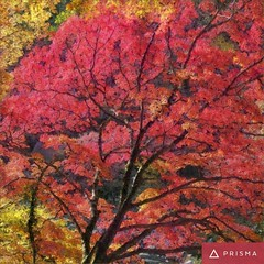 #prisma (mr ivanchan) Tags: prisma autumn maple trees leaves fall red japan japanese nature sunlight sunshine daylight