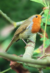 Young Robin (ekaterina alexander) Tags: young robin european redbreast flycatcher wild bird ekaterina england alexander sussex nature photography pictures autumn tree