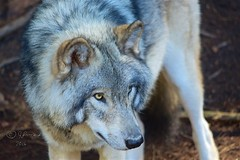 Timber Wolf (Jeannot7) Tags: timberwolf graywolf wolf parcomega montebello qubec