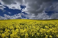 Hgase la luz (Anpegom fotografa) Tags: castilla colza amarillo