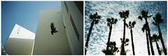 *** (Boris Rozenberg) Tags: film filmcommunity analog analogphotography analogue filmphotography kodakfilm practika pigeon sky tree trees palm palmtree composition compactcamera buyfilm buyfilmnotmegapixels light cloud clouds 35mm moment fly shadow kodak kodakcolor pov borisrozenberg harmonie chaos high