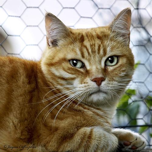 Le chat roux inquiet Montpellier 34 France