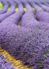 Purple snakes (Fil.ippo) Tags: field purple snake violet lavender campo provence filippo provenza lavanda valensole d7000 ruby10 ruby5 filippobianchi