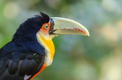 Parque das Aves (mcvmjr1971) Tags: macro paran brasil nikon f28 parquenacional 150mm parquedasaves lenssigma d7000