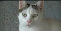 Blankita (Diary of a Feral Cat) Tags: boss cats pets animals alan cat de apache olivia diary tiger gatos el foster napoli tina brave tigre diario goku darky yingo blankita herdy gerdy amedia trign