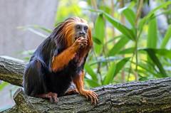Goudkopleeuwaap, Golden-headed lion tamarin (Bert Muller) Tags: nederland dieren apenheul apeldoorn tamarin dierentuin gelderland apen goldenheadedliontamarin goudkopleeuwaap