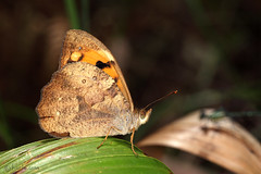 Wonder Brown (Heteronympha mirifica) (Harlz_) Tags: macro beautiful canon butterfly insect flying native sydney australia basin 100mm nsw nymphalidae heteronymphamirifica 5dmarkii wonderbrown satyrine