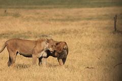 Friendship (www.JnyAroundTheWorld.com - Pictures & Travels) Tags: lion bigcat lionness botswana chobe savute safari africa gamedrive big5 jny canon jnyaroundtheworld jenniferlavoura
