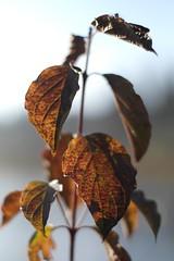 11224560 (BS-Foto) Tags: leica brown 50mm bokeh samsung braun marron summilux brun augsburg 50mmf14 nx wertach nx200 summilux50mm summiluxr samsungnx200 bsfoto