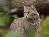 Wilde Kat (Chantal Coeleveld) Tags: wood shadow forest kat groen herfst bos schaduw bushes bosjes wildekat struiken canon50d felissilvestrissilvestris canonef70200f4