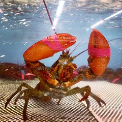 A #Lobster At The #Supermarket #LongIsland #NewYork #iPhone6 (hogophotoNY) Tags: camera usa ny apple digital square us unitedstates supermarket longislandny longisland squareformat lobster hudson newyorkstate eastcoast nystate iphone longislandnewyork hogo hogophoto iphoneography iphone6 instagramapp uploaded:by=instagram hogophotony appleiphone6 iphone6camera