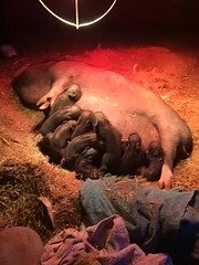 Piglets - 1 Day Old - Sow Nurses her babies (bslook1213) Tags: cute animals yahoo google funny flickr babies farm country litter pigs creatures hog bing sow piglets flickriver flickrhive