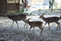 (GenJapan1986) Tags: 2014       deer animal nara japan nikond600 zf2 planart1450 carlzeiss