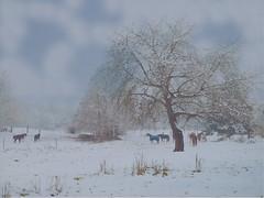 horses under a big tree with snow PC039338 (hlh 1960) Tags: schnee winter horses white snow tree nature germany landscape weide natur gras wonderland zaun landschaft pferde baum weis