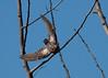 pallid cuckoo (Cacomantis pallidus)-8628 (rawshorty) Tags: birds australia canberra act jerrabomberrawetlands rawshorty