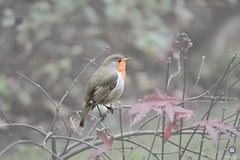 #18. Special (Melanie Delgado Phillips) Tags: christmas bird robin navidad visita pjaro petirojo 114picturesin2014