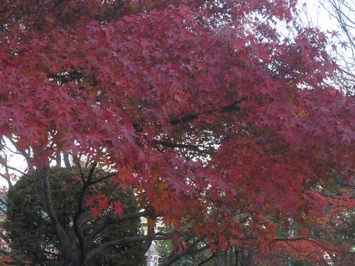紅葉した葉っぱです