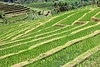 Jatiluwih rice terrace 1 (bob.ukiah) Tags: trees bali food green nature field grass canon indonesia landscape rice paddy terrace farming palm unesco crop growing agriculture pulse irrigation staple ubud eosm subak jatiluwah